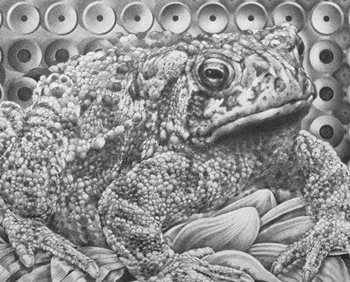 Bufo Coalescing - Richard Jacobi Drawings